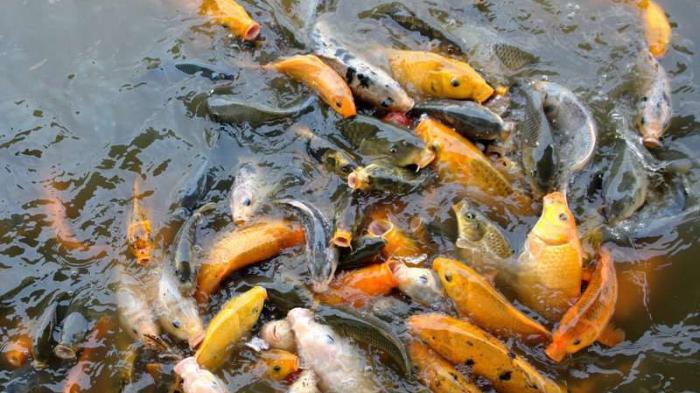 Berternak Ikan