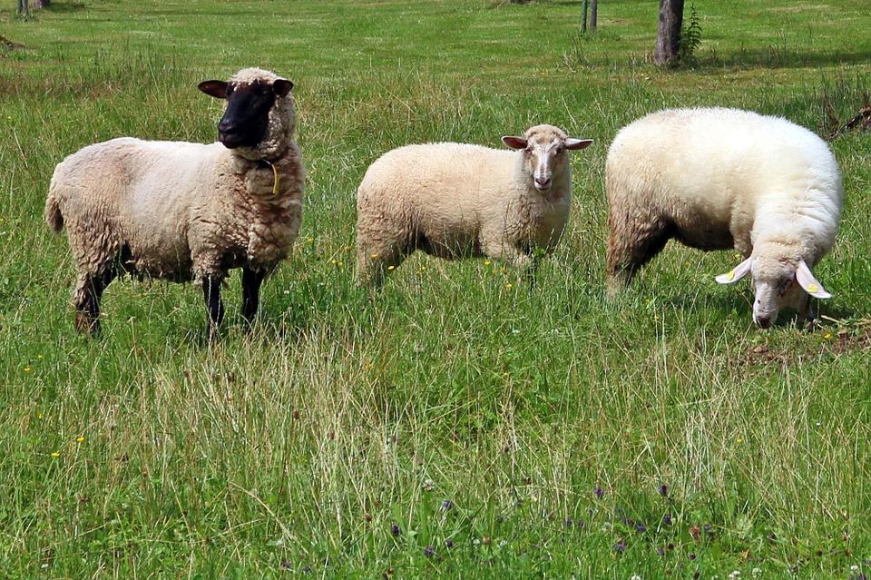 Kebutuhan Pakan Untuk Domba
