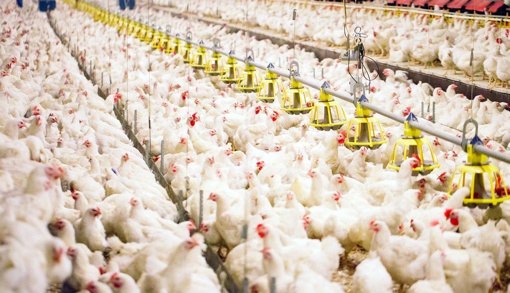 Keuntungan Dan Kerugian Ternak Ayam Broiler Yang Jarang orang ketahui