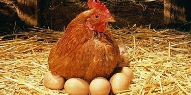 Memutuskan Jenis Ayam yang Ingin Dipelihara