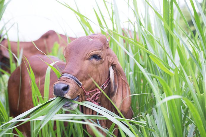 Pakan Ternak Sapi dan Cara Pemberian Pakan