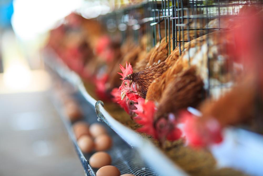 Pastikan Di Daerah Sekitar Tidak Ada Larangan Memelihara Ayam Petelur