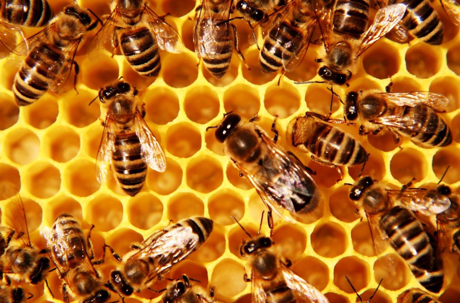apa itu madu ?