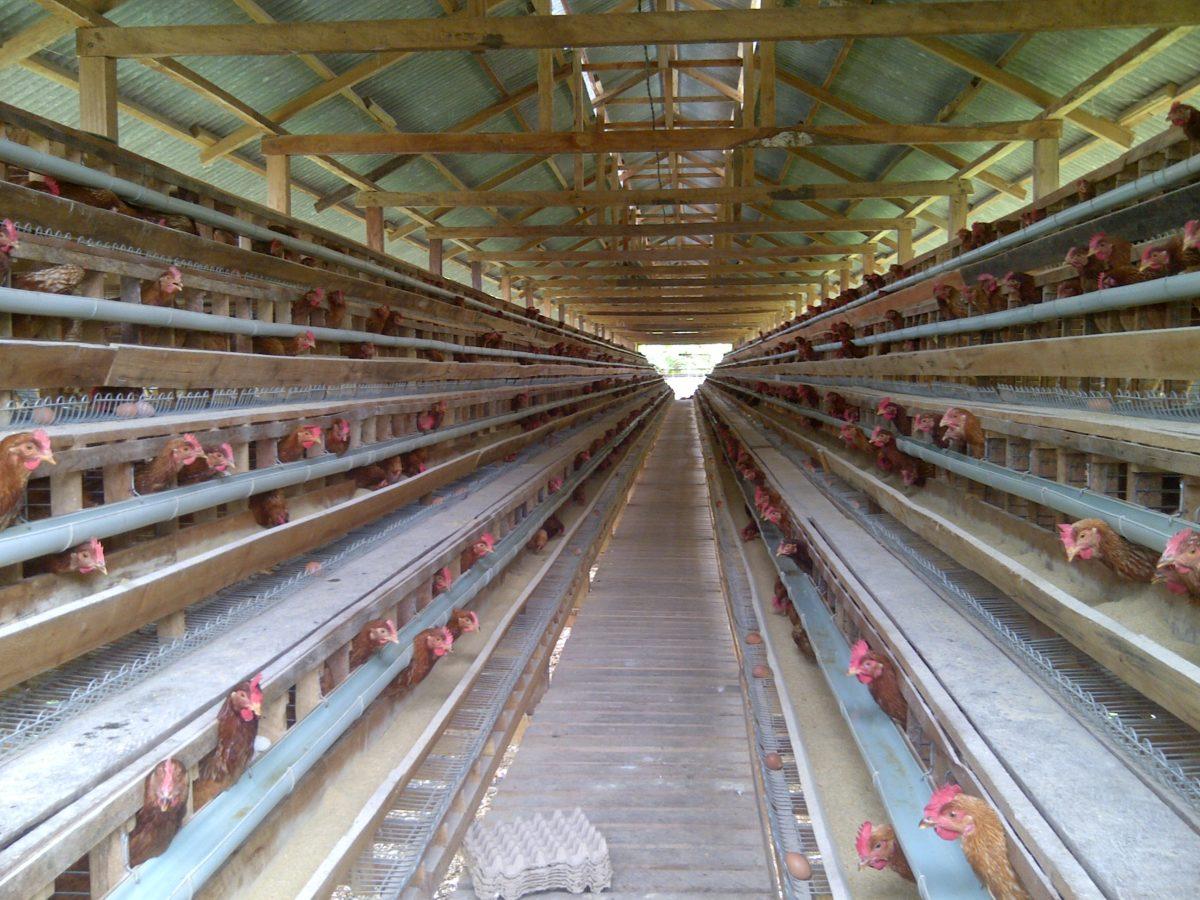 cara membuat kandang ayam petelur sistem baterai