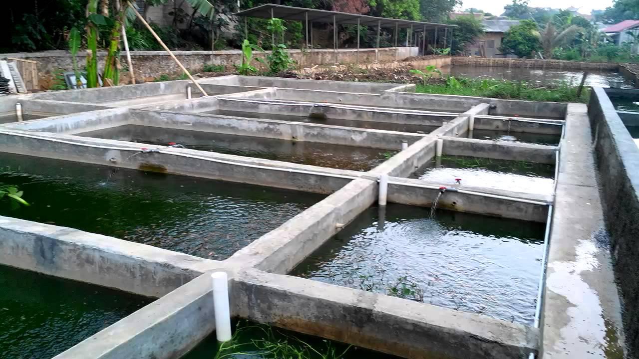 Cara Budidaya Ikan Lele di Kolam Beton / Kolam Semen