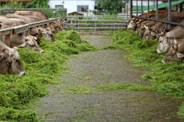 hijauan-pakan-sapi