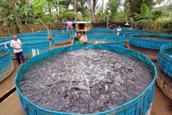 cara membudidaya ikan lele