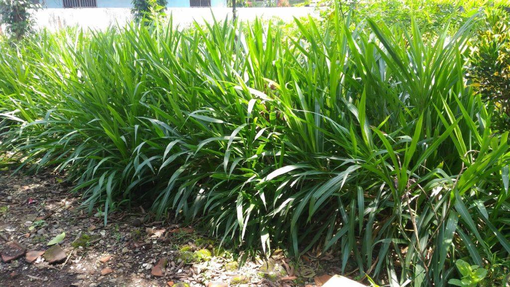 rumput-pakan-ternak