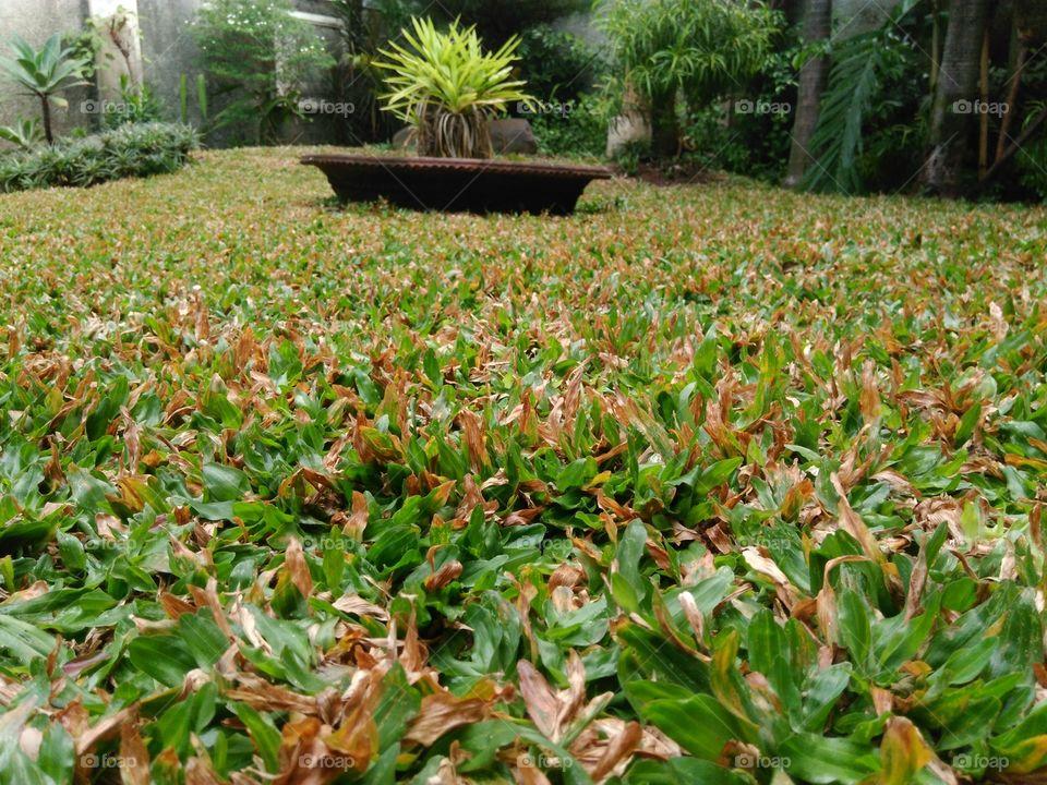 cara merawat rumput jepang