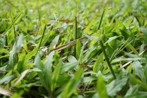 cara menghilangkan rumput liar