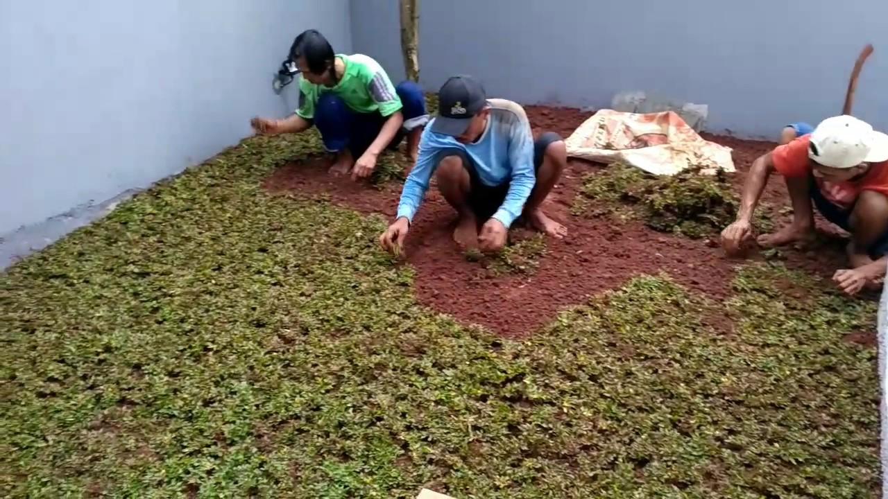 Cara Menanam Rumput Hias yang Nan Sangat Indah