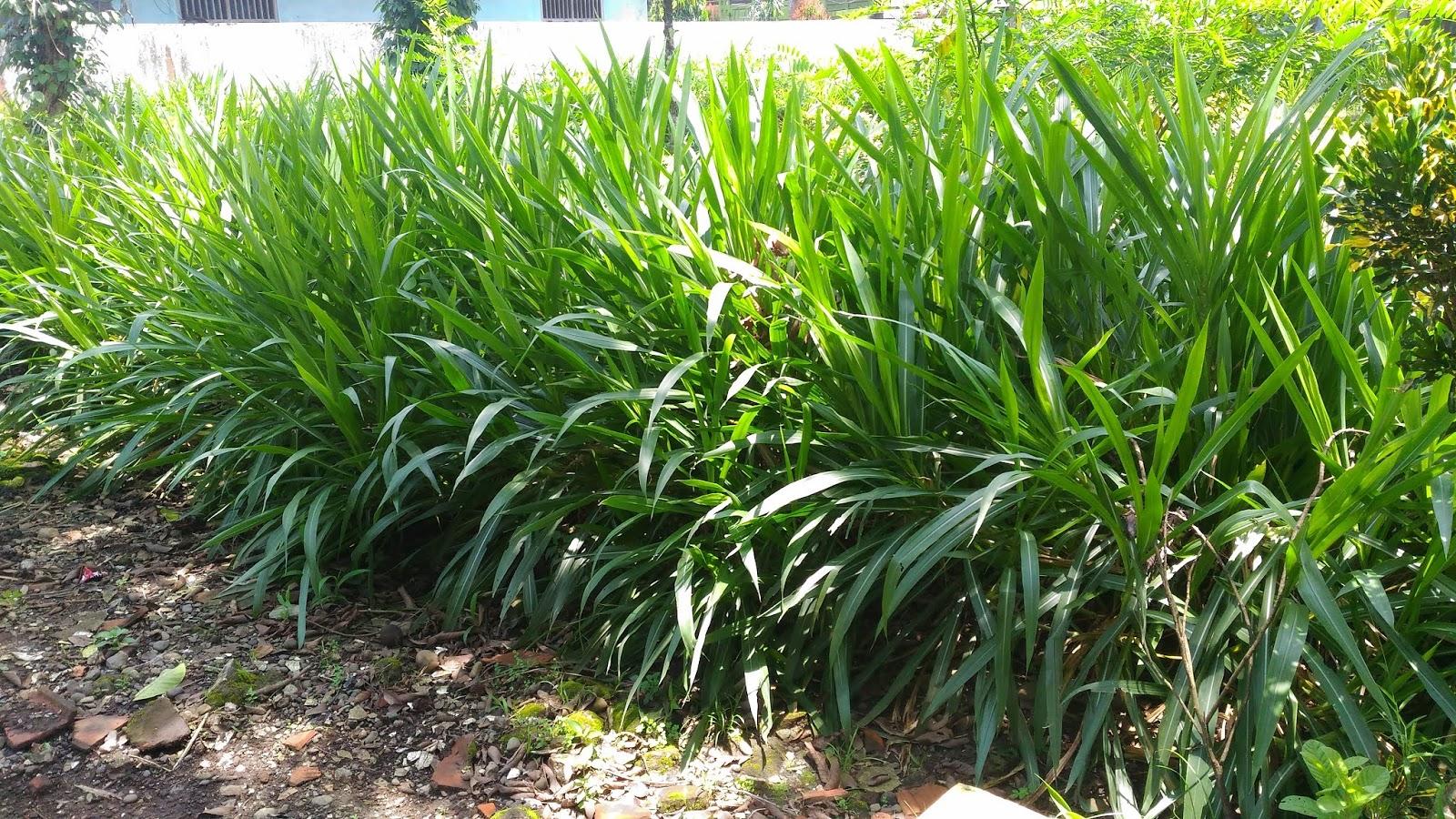 rumput-liar-pengganggu-tanaman