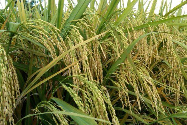 meningkatkan hasil panen padi