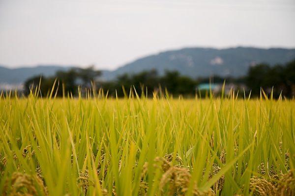 meningkatkan-hasil-panen-padi