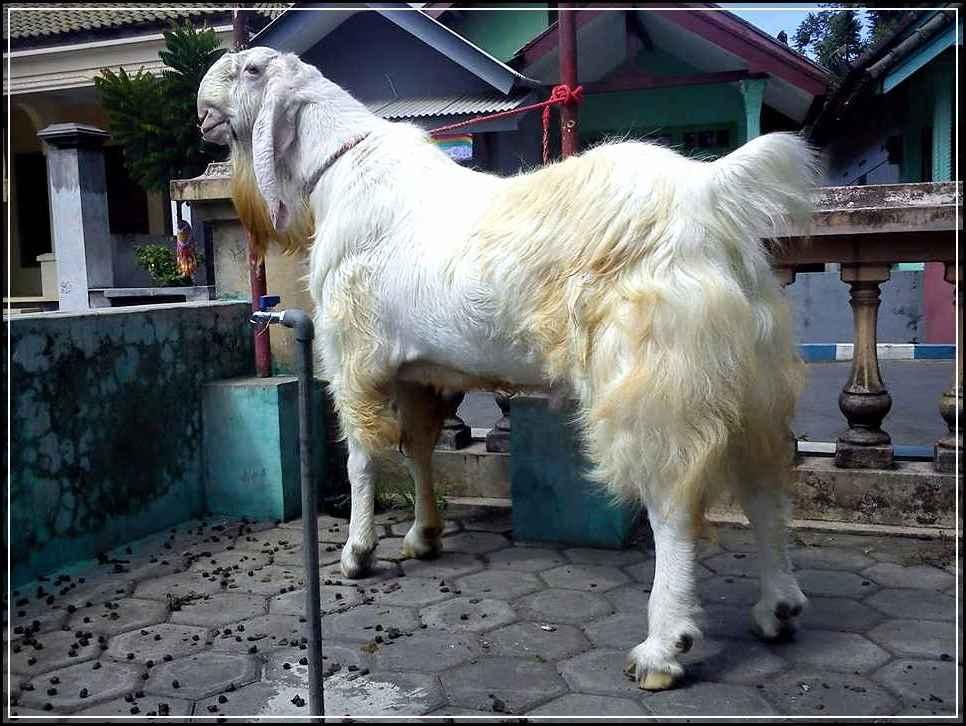 cara ternak kambing jawa