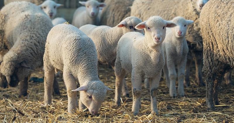 cara beternak kambing