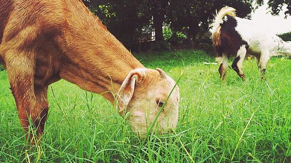 Hewan Pemakan Rumput