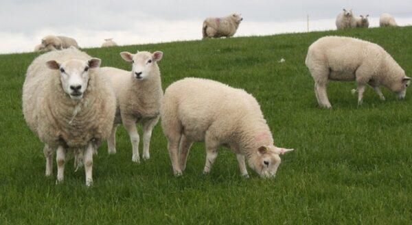 Pakan Domba Selain rumput
