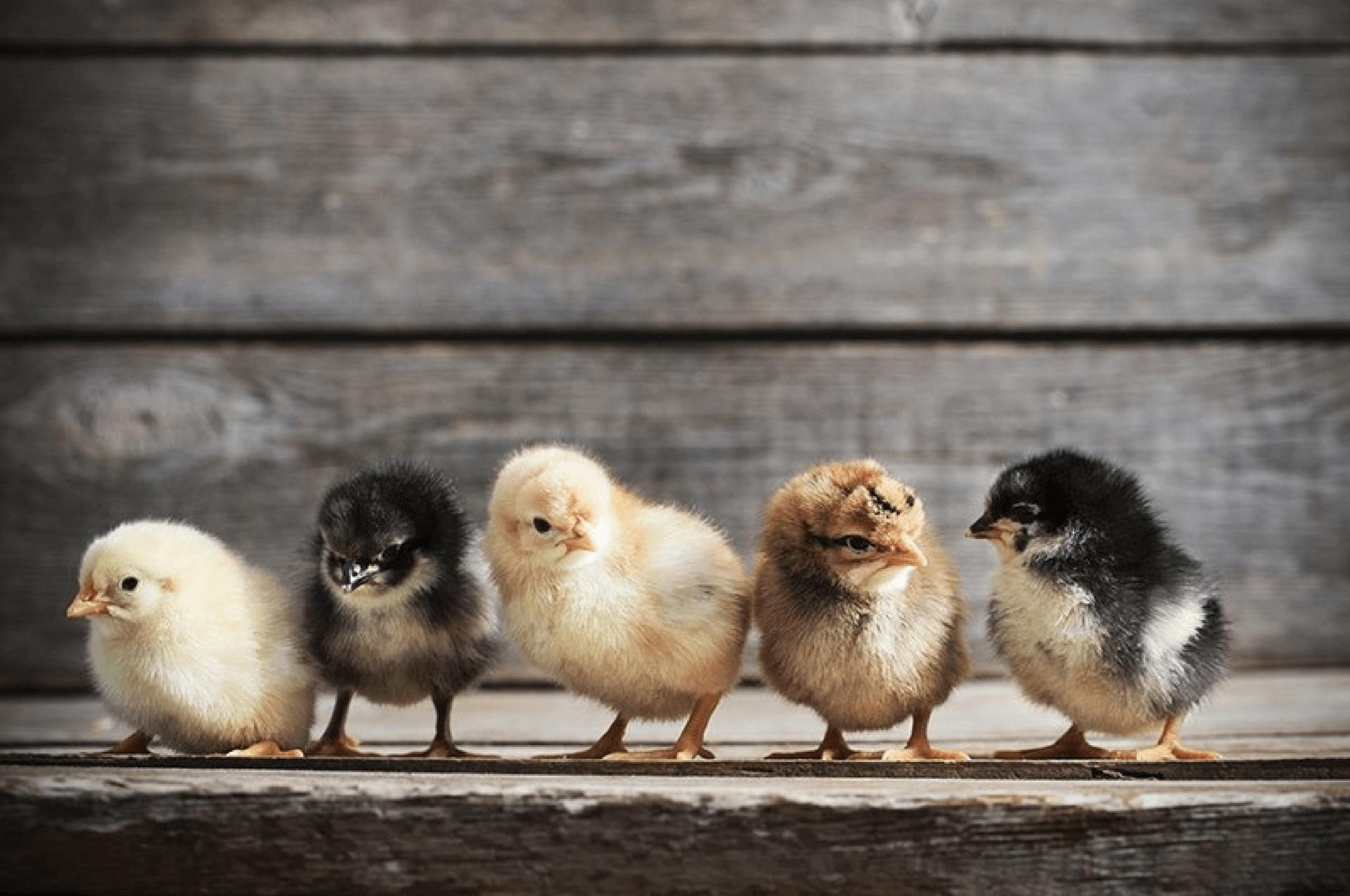 Cara Beternak Ayam Kampung BIar Cepat Besar