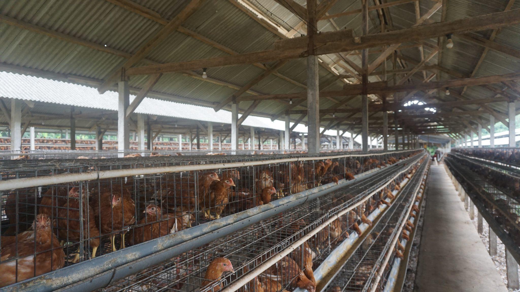 Cara Beternak Ayam Petelur Bagi Pemula