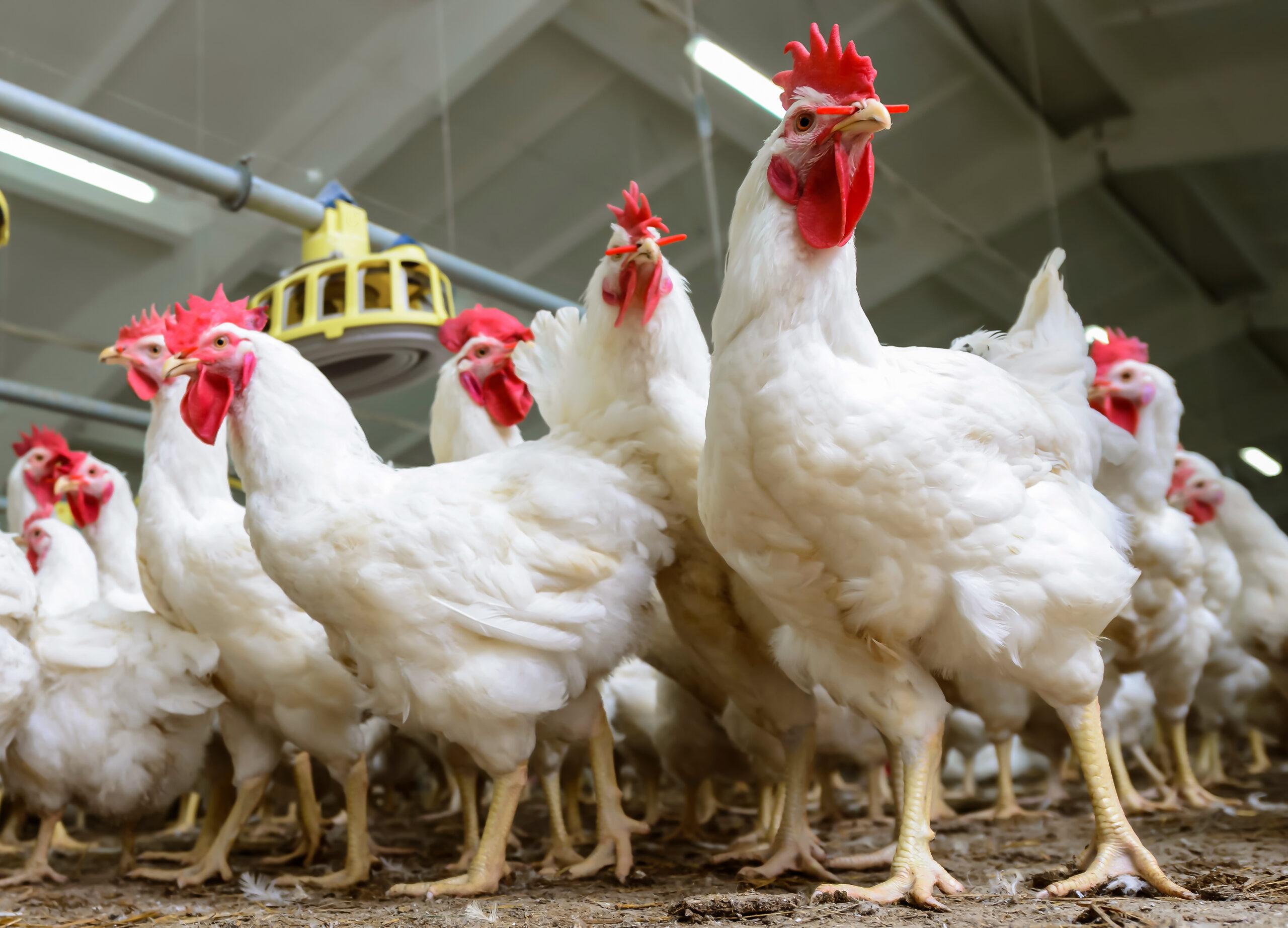 Cara Budidaya Ayam Potong